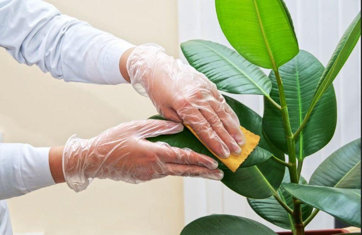 Limpiar las hojas de tus plantas de interior