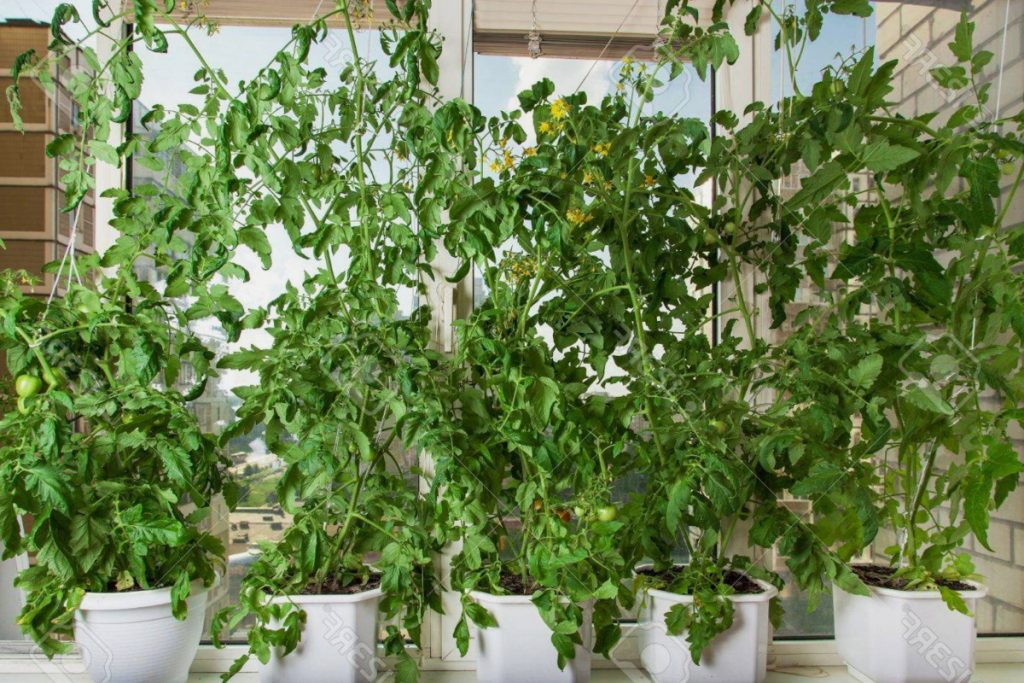 Aprende a cultivar tus tomates en macetas