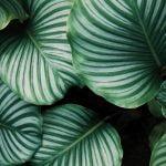 Planta de hojas grandes