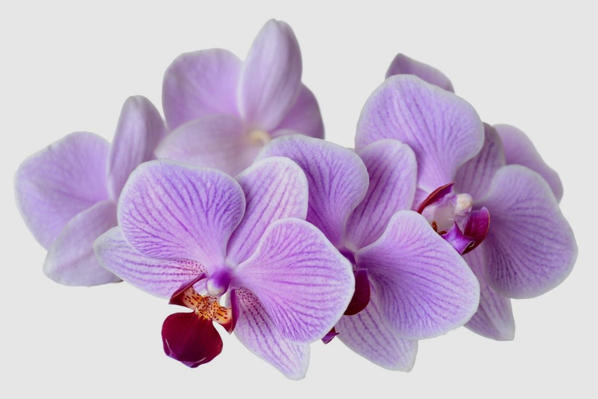 Podar orquídeas correctamente.