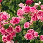 enfermedades del rosal